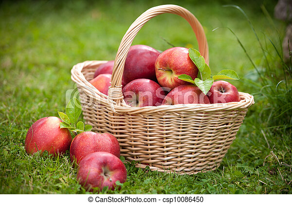 Fresh ripe apples in basket - csp10086450