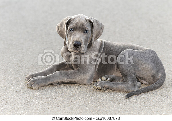 Great Dane puppy - csp10087873