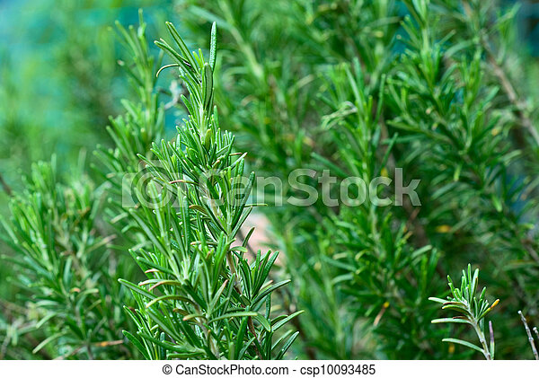 rosemary aromatic herb - csp10093485