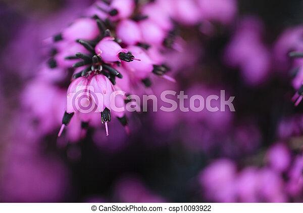 浪漫, 背景, 紫色, 花 - csp10093922
