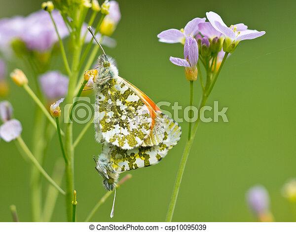 mating orange tip butterflies - csp10095039