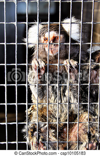 Sad Captive Marmoset - csp10105183
