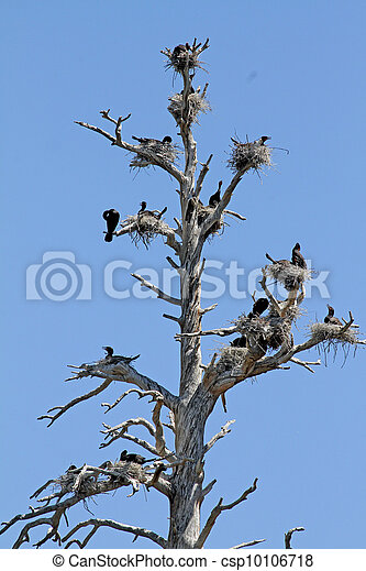 Double-crested Cormorant Nests - csp10106718