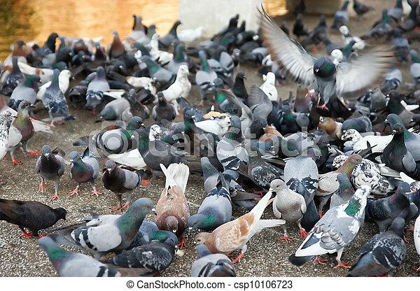 flock pigeons feeding - csp10106723