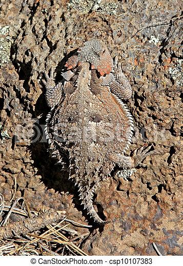 Greater Short-horned Lizard 2 - csp10107383