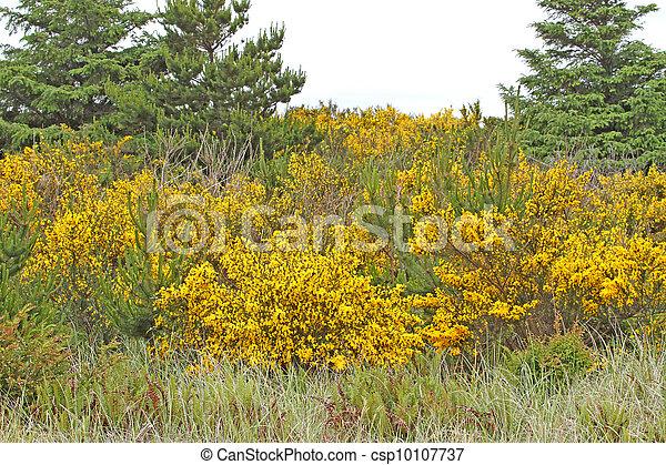 Gorse bushes at Ocean Shores, WA - csp10107737