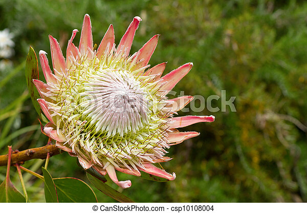 Kiing protea plant (Cynaroides) in bloom. - csp10108004