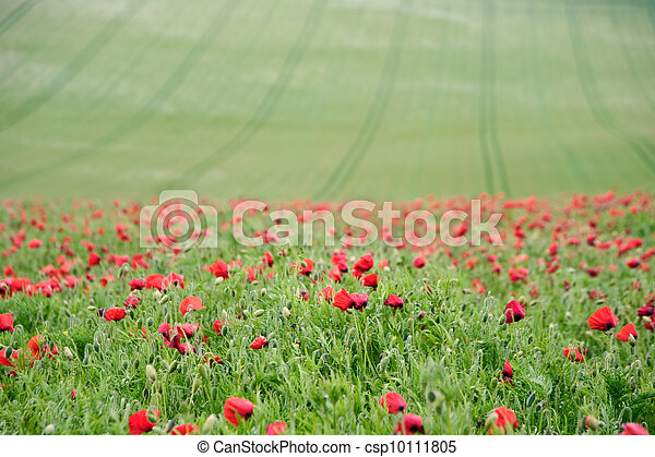 Summer landscape of wild poppies in agricultural field - csp10111805