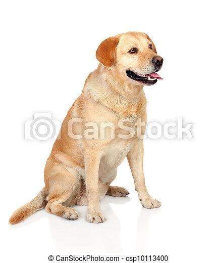 Beautiful Labrador retriever adult  - csp10113400