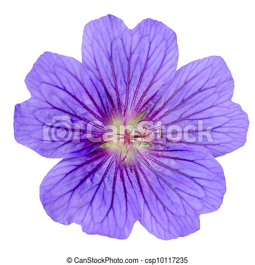 Purple Geranium Flower Isolated on White - csp10117235