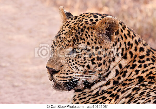 Male leopard lying in the shade - csp10121061
