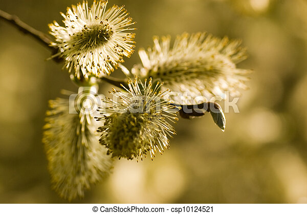 Pussy Willow close up - csp10124521