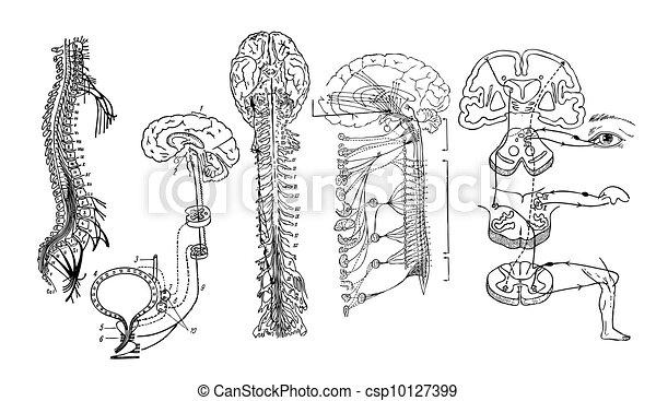 Vector. Central nervous system - csp10127399