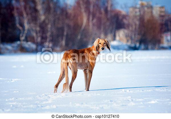 dog winter portrait - csp10127410