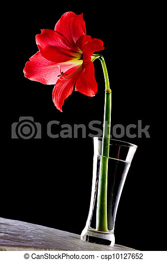 Red Hippeastrum flower in a vase on a table against black background. - csp10127652