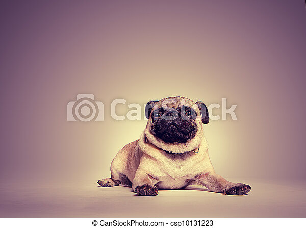 Portrait of a pug - csp10131223
