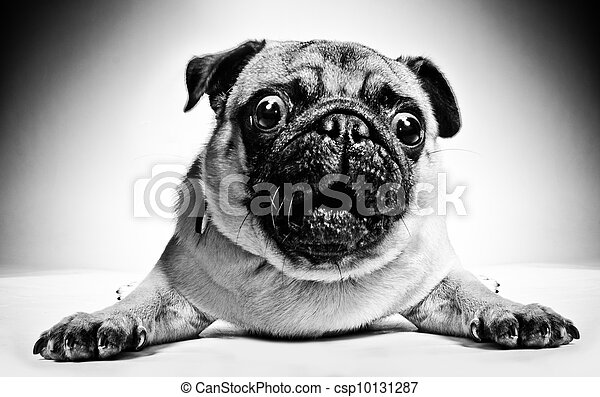 Black and white portrait of a pug - csp10131287