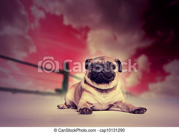 Pug dog against studio sunset backdrop - csp10131290