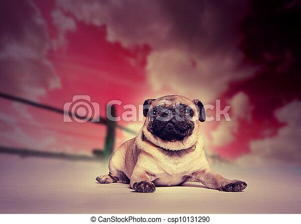 Pug dog against studio sunset backdrop - csp10131290