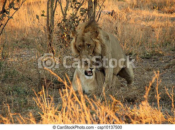 Stock de fotos le n pareja apareamiento khwai r o botsuana imagenes almacenadas - Leones apareamiento ...