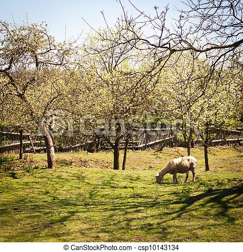 Idyllic rural scenery: sheep grazing in an orchard on a lovely spring day - csp10143134