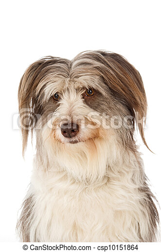 Bearded Border Collie sitting - csp10151864