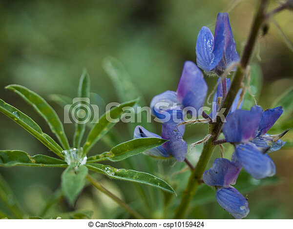 Silvery Lupine - csp10159424