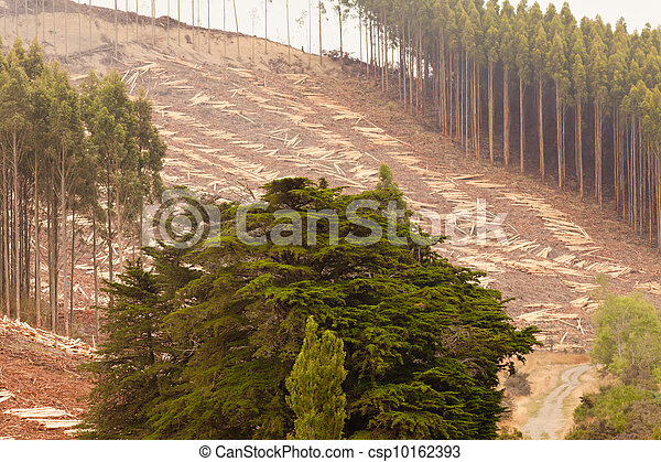 Vast clearcut Eucalyptus forest for timber harvest - csp10162393