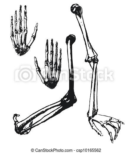 手, 引かれる, 上腕骨, ulna, 手, 骨 - csp101655... 手, 引かれる,