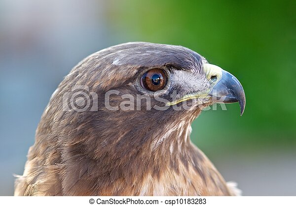 Red-tailed hawk - csp10183283