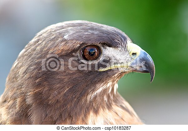 Red-tailed hawk - csp10183287