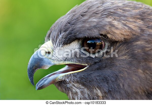 Red-tailed hawk - csp10183333