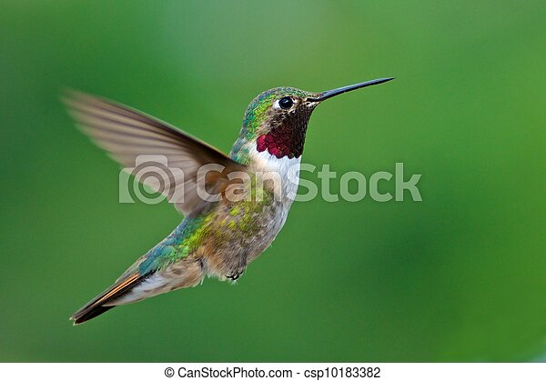 Broad-tailed adult male hummingbird - csp10183382