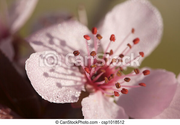 Early Spring Pink Tree Blossoms - csp1018512