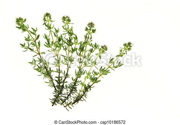 Thyme (Thymus vulgaris) - csp10186572