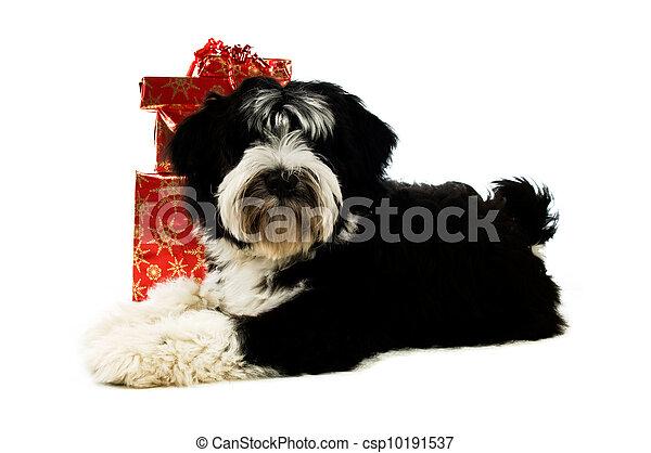 Tibetan terrier  - csp10191537