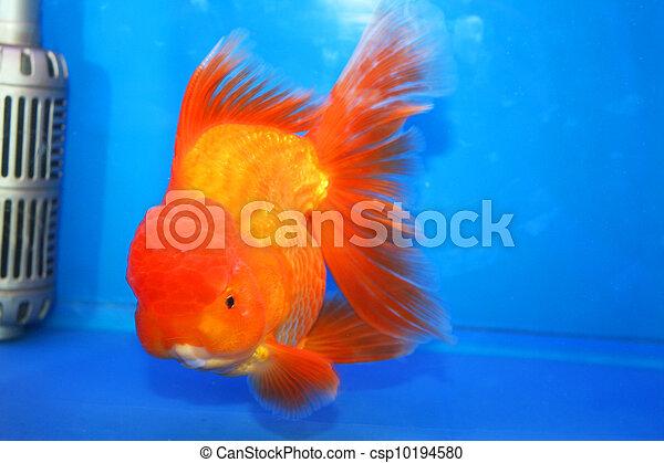 Images de poisson rouge exposer tha lande poisson for Tarif poisson rouge