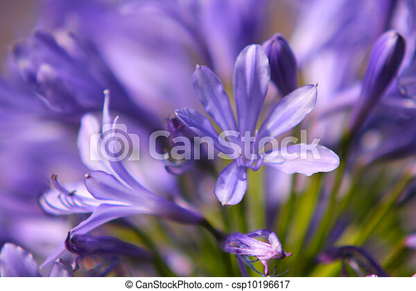 Closeup of beautiful violet flower, isolated towards similar colours - csp10196617