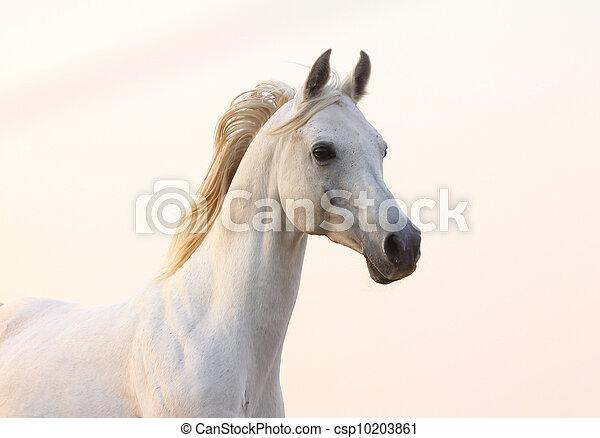 white horse in sunset - csp10203861