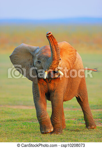 Baby Elephant - raised trunk - csp10208073
