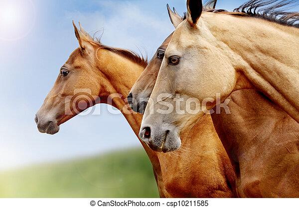 purebred horses closeup - csp10211585