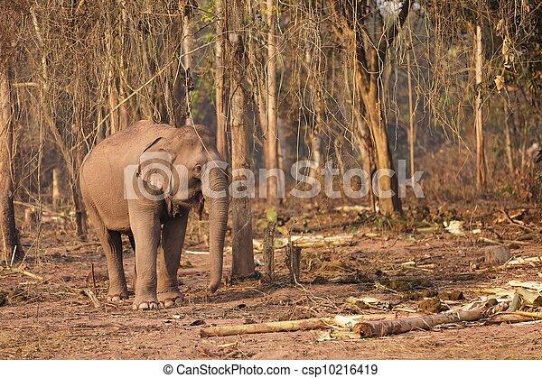 wild elephant in Laos - csp10216419