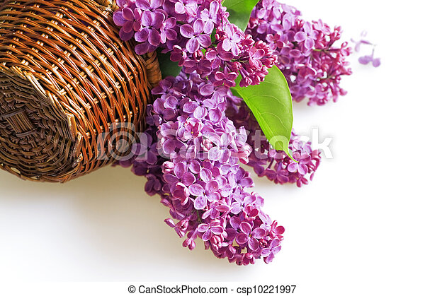 purple flowers of a lilac in basket on a white background - csp10221997