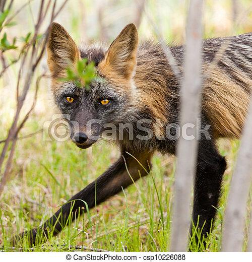 Penetrating gaze of an alert red fox genus Vulpes - csp10226088