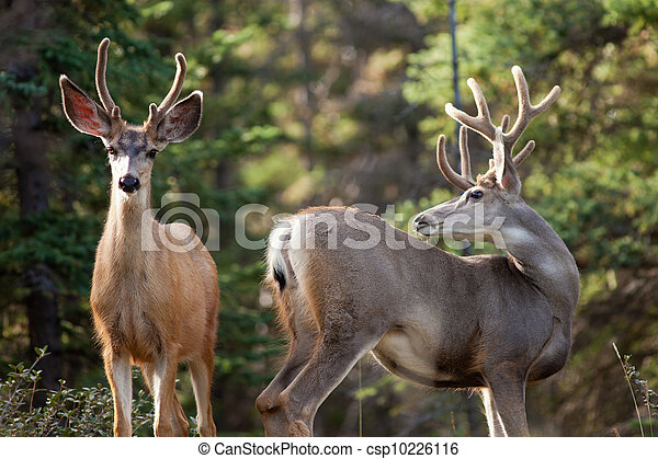 Two mule deer bucks with velvet antlers interact - csp10226116