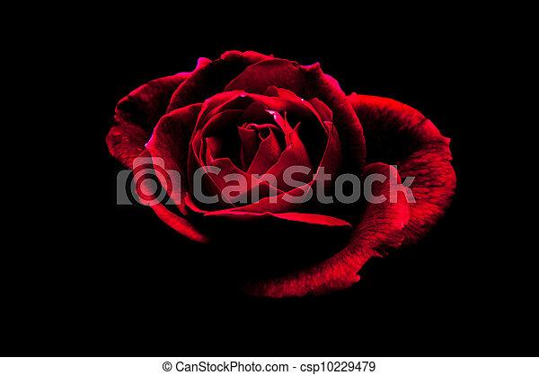 Rose in black - csp10229479