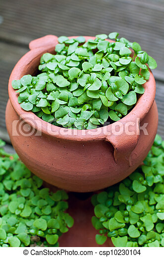 Stock photography of small basil plants growing in pot What are miniature plants grown in pots called