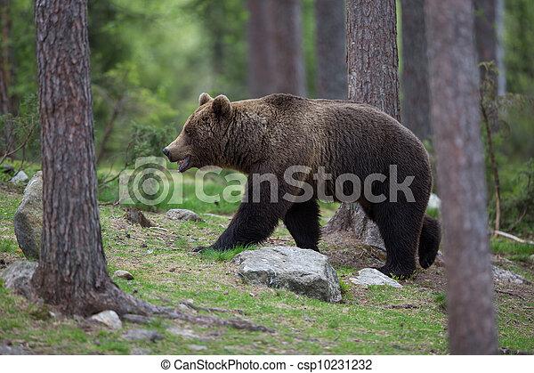 brun,  tiaga, skog, björn - csp10231232