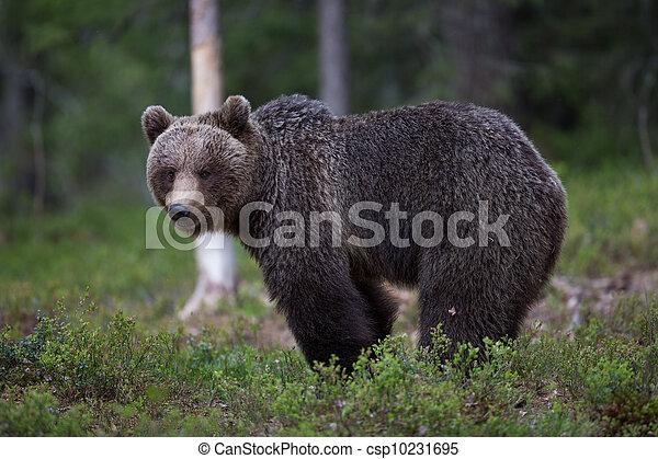 brun,  tiaga, skog, björn - csp10231695