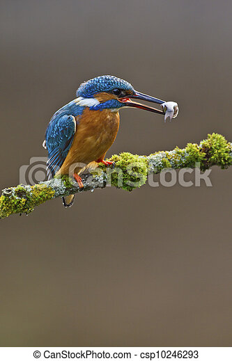 Common Kingfisher Alcedo atthis adult male - csp10246293